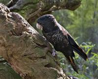 Yellow-taled Black-Cockatoo