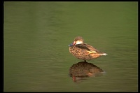 : Anas bahamensis; White-cheeked Pintail
