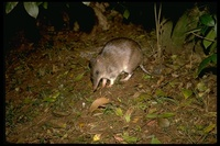 : Perameles nasuta; Long-nosed Bandicoot