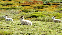 Dall Sheep. Copyright Borderland Tours. All rights reserved.