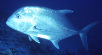 Caranx ignobilis, Giant trevally: fisheries, aquaculture, gamefish, aquarium