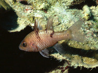 Apogon trimaculatus, Three-spot cardinalfish: