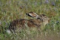Image of: Lepus oiostolus (woolly hare)