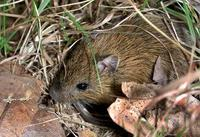Image of: Zapus hudsonius (meadow jumping mouse)