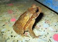 Bufo valliceps - Gulf Coast Toad