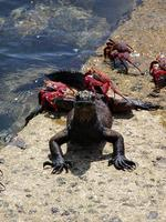 Image of: Amblyrhynchus cristatus (marine iguana), Grapsus grapsus (sally lightfoot crab)