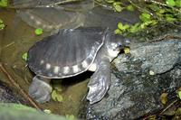 Carettochelys insculpta - Fly River Turtle