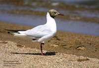Brown-headed Gull - Larus brunnicephalus