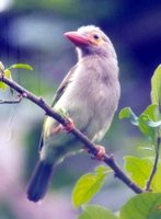 Brown-headed Barbet - Megalaima zeylanica