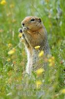 ...Arctic Ground Squirrel ( Spermophilus parryii ) feeding on , Denali National Park , Alaska , USA