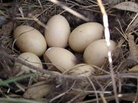 Pacific Black Duck nest
