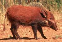 bush-pig-moswe280.jpg