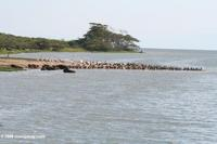Buffalo, pelicans, cormorants on a sandbar in the Kazinga Channel