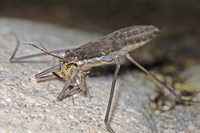 : Gerris remigis; Water Strider