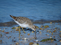 메추라기도요 Calidris acuminata | sharp-tailed sandpiper