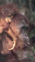 photograph of a Bornean orang-utan and her infant