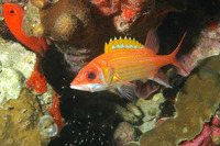 Neoniphon marianus, Longjaw squirrelfish: fisheries