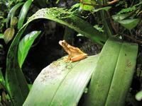 Hour-glass tree frog (Hyla ebraccata)