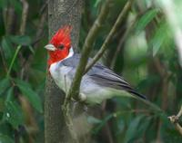 Image of: Paroaria coronata (red-crested cardinal)