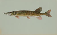Image of: Esox niger (chain pickerel)