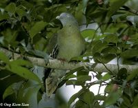 Little Green Pigeon - Treron olax