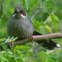 Brown-cheeked Laughingthrush - Garrulax henrici