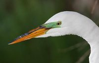 Great Egret (Ardea alba) photo