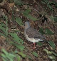 Gray-headed Dove (Leptotila plumbeiceps) photo