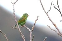 Orange-chinned Parakeet - Brotogeris jugularis