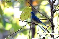 Pale Blue-Flycatcher - Cyornis unicolor
