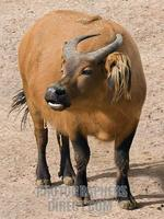 Congo Buffalo , Marwell Zoo , Hampshire , England stock photo