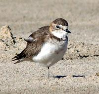 Double-banded Plover non-breeding