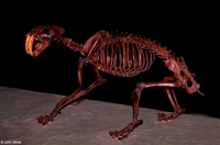 : Smilodon californicus; Sabertoothed Cat