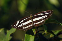 : Neptis hylas linnaeus, 1758; Common Sailor