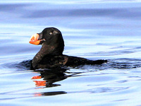 Tufted Puffin. 1 October 2006. Photo by Angus Wilson