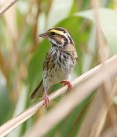 Yellow-browed Bunting » Emberiza chrysophrys