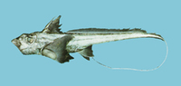 Chimaera phantasma, Silver chimaera: fisheries