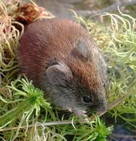 Image of: Myodes gapperi (southern red-backed vole)