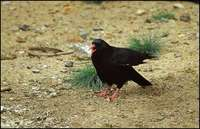 Pyrrhocorax pyrrhocorax - Red-billed Chough