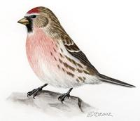 Image of: Carduelis flammea (common redpoll)