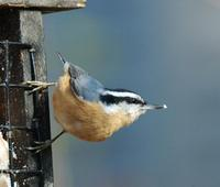 Image of: Sitta canadensis (red-breasted nuthatch)