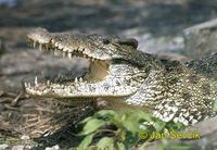 Crocodylus rhombifer - Cuban Crocodile
