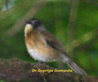 Pale-chinned Flycatcher - Cyornis poliogenys