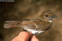 White-throated Jungle Flycatcher - Rhinomyias albigularis