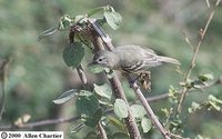 Southern Beardless-Tyrannulet - Camptostoma obsoletum
