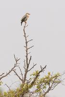 Red-billed starling C20D 03681.jpg