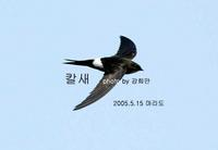 202 칼새 White-rumped Swift