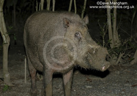 : Sus barbatus; Bearded Pig