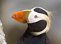 Tufted Puffin. Photo by Dave Kutilek. All rights reserved.