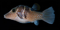 Canthigaster ocellicincta, Shy toby: